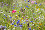 Close up of vibrant wildflowers in sunny field - JUIF01244