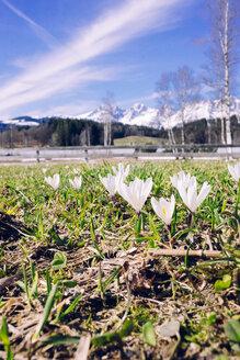 Corcusses in spring, Kitzbuehel, Austria - PSIF00274