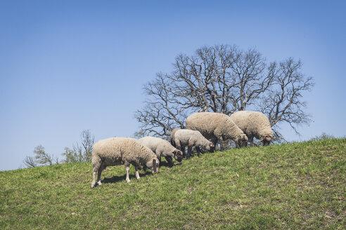 Sheep on Elbe dike, Lower Saxony, Germany - KEBF01237