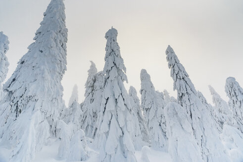 Snow-covered fir trees, Arbermandel, Ore Mountains, Germany - MJF02363
