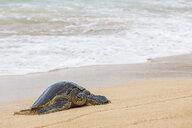 Green Sea Turtle at seafront, Ho'okipa Beach Park, Hawaii, USA - FOF10854