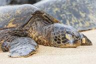 Portrait of Green Sea Turtle on the beach, Ho'okipa Beach Park, Hawaii, USA - FOF10857