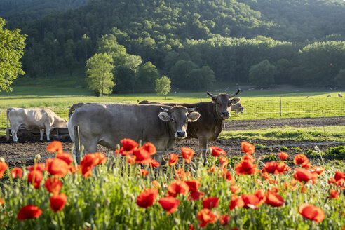 Cows on pasture behind poppies, Garrotxa, Spain - AFVF03274