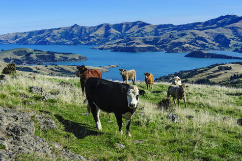 Cows grazing above the Akaroa harbour, Banks Peninsula, South Island, New Zealand - RUNF02574