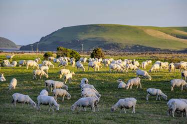 Sheeps grazing in the green fields of the Catlins, South Island, New Zealand - RUNF02583