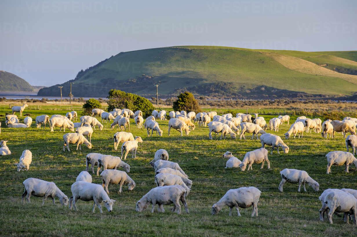 Sheeps grazing in the green fields of the Catlins, South Island, New Zealand - RUNF02583 - Michael Runkel/Westend61