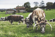 Herd of English Longhorn cows grazing on a pasture. - MINF11265