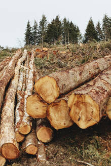 Stacked logs, freshly logged spruce, hemlock and fir trees - MINF11424