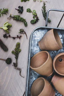 High angle close up of selection of small succulents and terracotta pots on metal tray. - MINF11544