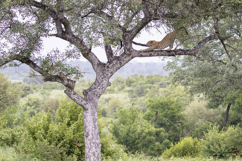 A leopard, Panthera pardus, stands on a tree branch and stretches, with greenery in the background - MINF11574