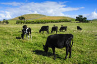 Cows grazing on the Kaikoura Peninsula, South island, New Zealand - RUNF02587