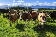 Curious cows, Karamea, South island, New Zealand - RUNF02593