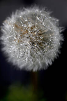 Blowball with raindrops, close-up - JTF01238
