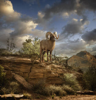 Ram on rock formation in desert - BLEF06731