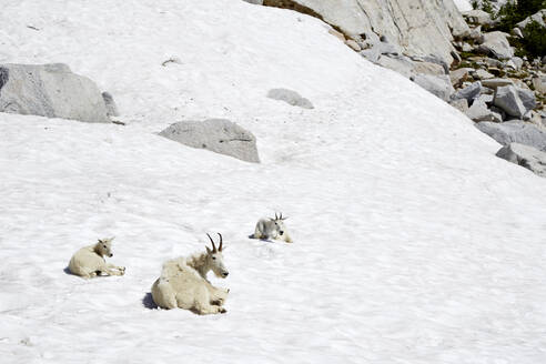 Mountain goats laying on snowy hillside - MINF12412