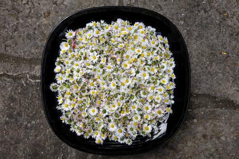 abgeschnittene Gänseblümchen Blüten, Natur Medizin, Heilplanze, Garten, Blüten - NDF00931