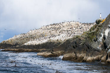 Cormorants on an island in the Beagle channel, Ushuaia, Tierra del Fuego, Argentina, South America - RUNF02783