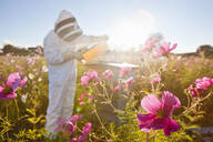Beekeeper checking honey on beehive frame in field full of flowers - JUIF01551