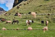 Icelandic horses grazing on field, Ábær, Skagafjardarsysla, Iceland - ISF21679