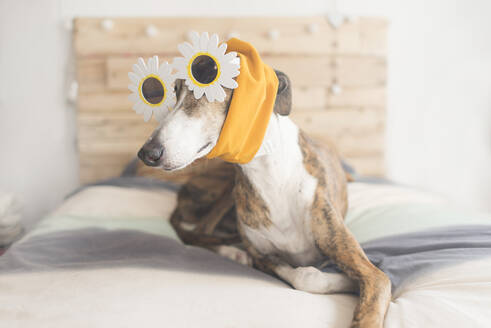 Portrait of Greyhound lying on bed wearing novelty glasses and headband - SKCF00579