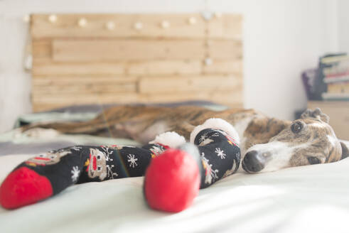 Portrait of Greyhound lying on bed wearing stockings at Christmas time - SKCF00582