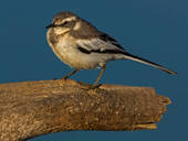 Mountain wagtail perched on tree branch, side view, Kruger National park, South Africa - CUF51506