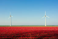Red bulb fields in spring, wind turbines on a dyke in background, Nagele, Flevoland, Netherlands - CUF51584