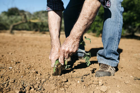 Spain, Tarragona. Hands of retired man planting lettuces in the garden and enjoying the outdoors on a sunny spring day - JRFF03402