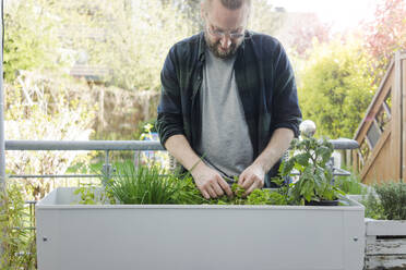 Man caring for herbary in raised bed - MOEF02281