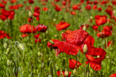Red poppies in field, close up - FRF00848