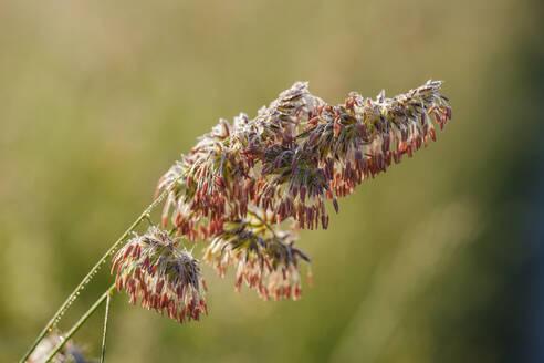 Blütenstand, Gewöhnliches Knäuelgras (Dactylis glomerata), Niederbayern, Bayern, Deutschland - SIEF08721
