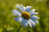Close-up of wet white daisy blooming outdoors - SIEF08730