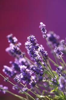 Lavendel,Germany - JTF01252
