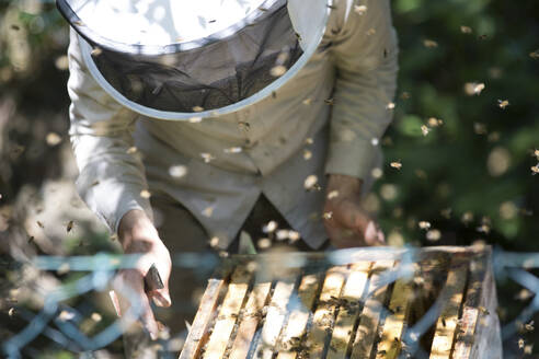 Beekeeper checking honeycomb with honeybees - JATF01149