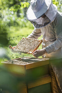 Beekeeper checking honeycomb with honeybees - JATF01155