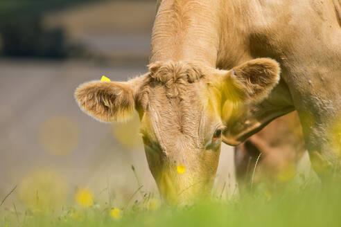 Cow grazing in rural field - JUIF01868