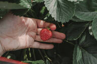 Close-up of cropped hand holding strawberry at yard - OGF00004