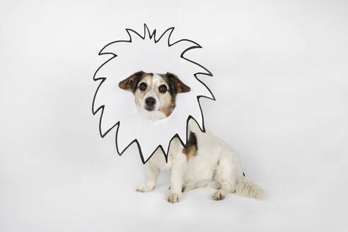 Portrait of mongrel with drawn lion's mane sitting in front of white background - PSTF00464