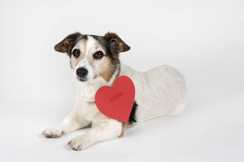 Portrait of mongrel with red cardboard heart lying on white ground - PSTF00473