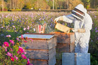 Beekeeper removing frame from beehive in field full of flowers - JUIF02012