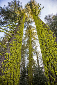 Low angle view of moss on forest trees - BLEF09406