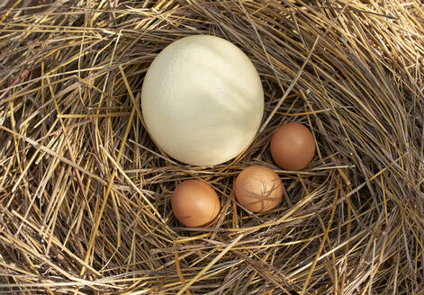 High angle view of white and brown eggs in nest - VEG00409