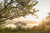 Germany, Baden-Wurttemberg, Lake Constance and trees at sunrise - SHF02201