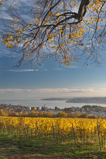 Germany, Baden-Wurttemberg, Uberlingen, Vineyard in Autumn, Lake Constance in background - SHF02216