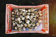 Crate of garlic bulbs in garden - BLEF09796