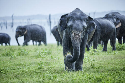 Asian elephant grazing against herd at Kaudulla National Park - CVF01277