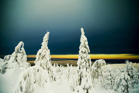 Snowy trees in remote forest - BLEF09938