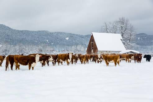 Herd of cattle in snowy farm field - BLEF10028