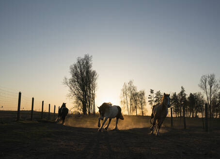 Horses running in idyllic pasture at sunset, Wiendorf, Mecklenburg, Germany - FSIF04227
