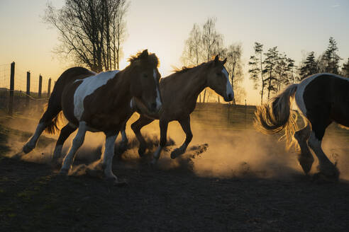 Horses running in idyllic pasture at sunset, Wiendorf, Mecklenburg, Germany - FSIF04230